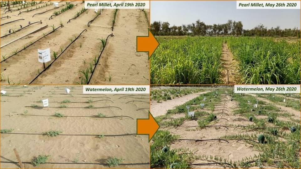 Dubai-crops-before-and-after.jpg?mtime=20200820113826#asset:204021
